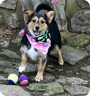 Corgi/Dachshund Mix Dog for adoption in Muldrow, Oklahoma - Jenny