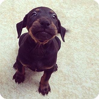 Labrador Retriever Mix Puppy for adoption in Honolulu, Hawaii - Hound / Labrador Puppies