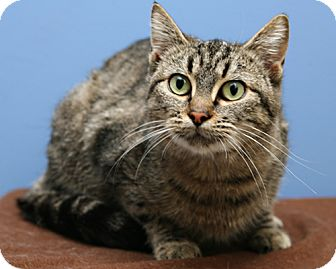 Domestic Shorthair Cat for adoption in Bellingham, Washington - Cora