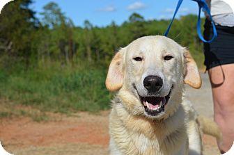 Great Pyrenees Mix Dog for adoption in Washington, Georgia - Solomon