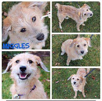 Terrier (Unknown Type, Medium) Mix Dog for adoption in Garden City, Michigan - Miggles
