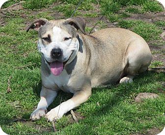 American Pit Bull Terrier/Husky Mix Dog for adoption in Elizabeth City, North Carolina - Bella