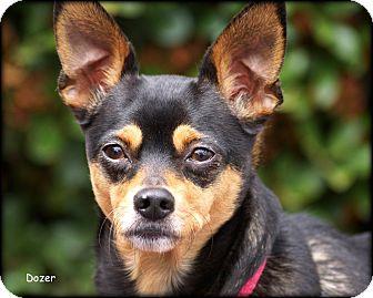 Miniature Pinscher Mix Dog for adoption in Vista, California - Dozer