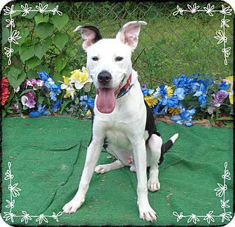 Retriever (Unknown Type)/Pointer Mix Dog for adoption in Marietta, Georgia - SONY