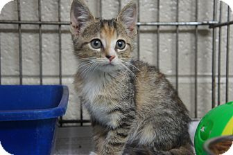 Domestic Shorthair Kitten for adoption in Henderson, North Carolina - Squiggles*