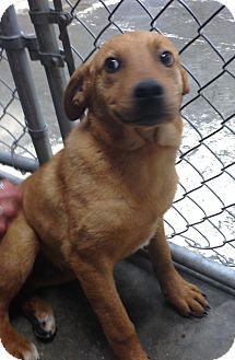 Shepherd (Unknown Type) Mix Puppy for adoption in Greensburg, Pennsylvania - Jax