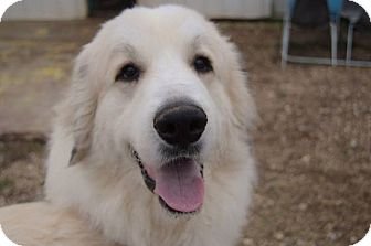 Great Pyrenees Mix Dog for adoption in Medina, Tennessee - Jessie