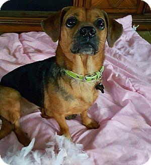 Beagle/Pug Mix Dog for adoption in Brick, New Jersey - Bailey