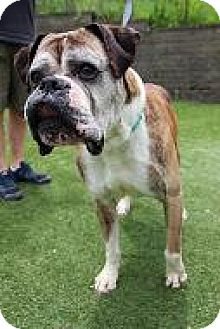 Boxer Mix Dog for adoption in Parma, Ohio - Chaplin