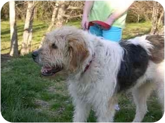 Bearded Collie Mix Dog for adoption in Murfreesboro, Tennessee - Sally