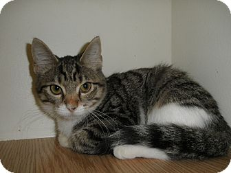 Domestic Shorthair Cat for adoption in Milwaukee, Wisconsin - Symphony