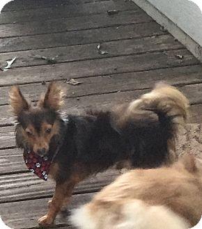Chihuahua/Pomeranian Mix Dog for adoption in Greensboro, North Carolina - Sebastian - ADOPTION PENDING!