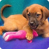 Adopt A Pet :: Poppy - Millersville, MD