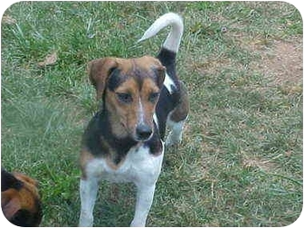 Beagle/Jack Russell Terrier Mix Dog for adoption in Burnsville, North Carolina - Leigh
