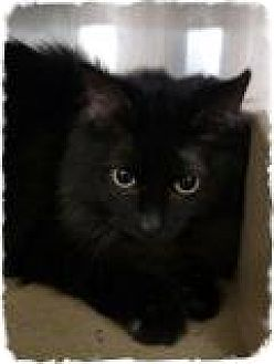 Domestic Mediumhair Cat for adoption in Pueblo West, Colorado - Strouss