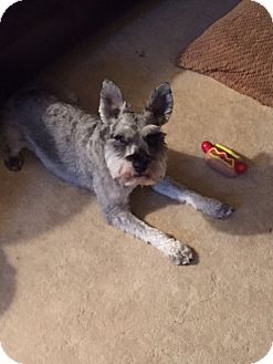 Miniature Schnauzer Mix Dog for adoption in Blue Bell, Pennsylvania - Julius