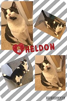 Domestic Shorthair Cat for adoption in Cherry Hill, New Jersey - Sheldon