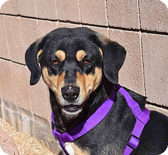 Shepherd (Unknown Type) Mix Dog for adoption in Sierra Vista, Arizona - Bonkerz