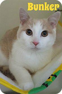 Domestic Shorthair Cat for adoption in Menomonie, Wisconsin - Bunker
