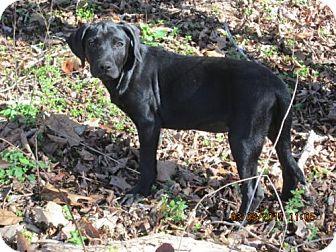 Labrador Retriever/Husky Mix Puppy for adoption in South Burlington, Vermont - JOSEPHINE