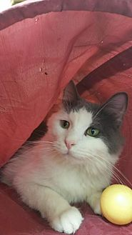 Domestic Longhair Cat for adoption in Park Falls, Wisconsin - Neville