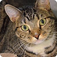 Domestic Shorthair Cat for adoption in Brooksville, Florida - 10310842 DEENA