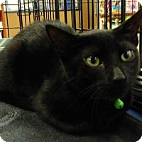 Bombay Kitten for adoption in Corona, California - IRON
