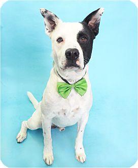 American Pit Bull Terrier/Labrador Retriever Mix Dog for adoption in Phoenix, Arizona - Hurricane