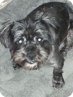 Shih Tzu Mix Dog for adoption in Dothan, Alabama - Oreo