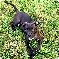 Adopt A Pet :: Stanley - Fredericksburg, VA