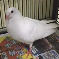 Pigeon for adoption in Largo, Florida - Boomerang
