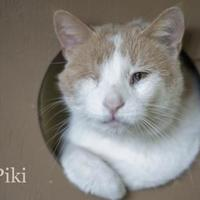 Domestic Shorthair/Domestic Shorthair Mix Cat for adoption in West Des Moines, Iowa - Piki