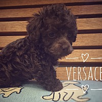 Adopt A Pet :: Versace - Maitland, FL