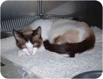 Siamese Cat for adoption in Honesdale, Pennsylvania - Ashley