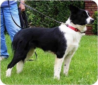 Border Collie Dog for adoption in Bellevue, Nebraska - Fiona