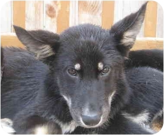 German Shepherd Dog/Husky Mix Puppy for adoption in Chicago, Illinois - Toby*ADOPTED!*
