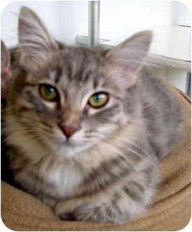 Domestic Mediumhair Cat for adoption in Portland, Oregon - Angelita