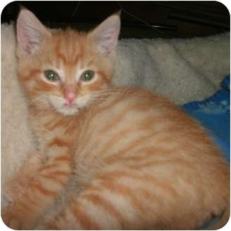 Domestic Shorthair Kitten for adoption in Toronto, Ontario - Cheerio
