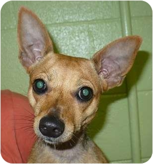 Italian Greyhound/Chihuahua Mix Dog for adoption in Eastpoint, Florida - Chloe
