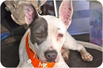 Pit Bull Terrier/Bull Terrier Mix Puppy for adoption in Los Angeles, California - Uma