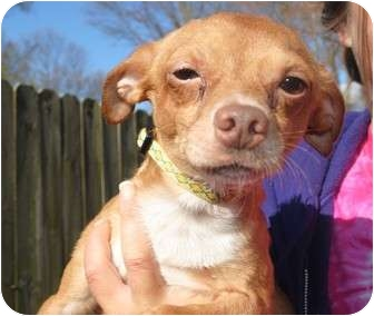 Chihuahua Mix Dog for adoption in Medford, New Jersey - Esteban