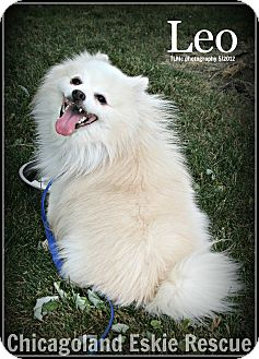 American Eskimo Dog Dog for adoption in Elmhurst, Illinois - Leo