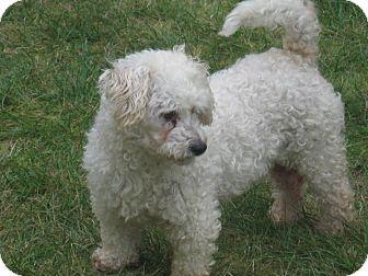 Miniature Poodle/Poodle (Miniature) Mix Dog for adoption in Tumwater, Washington - Pringo