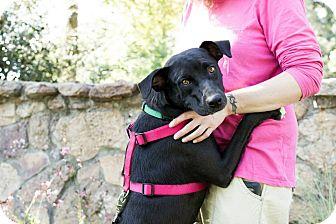 Labrador Retriever Mix Dog for adoption in Ft. Collins, Colorado - Sara