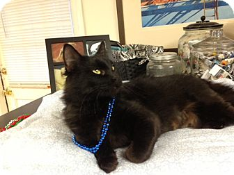 Domestic Shorthair Cat for adoption in Marietta, Georgia - Riversong