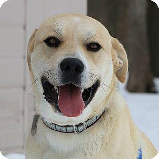 Labrador Retriever/Golden Retriever Mix Dog for adoption in Columbia, Illinois - Napoleon