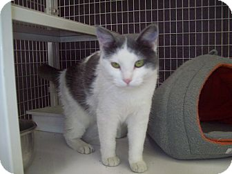 Domestic Shorthair Cat for adoption in Sterling, Kansas - Elana
