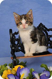 Domestic Shorthair Kitten for adoption in mishawaka, Indiana - Bonnie
