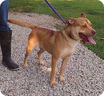 Pit Bull Terrier/Labrador Retriever Mix Dog for adoption in Metamora, Indiana - Nadine