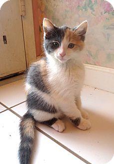 Domestic Shorthair Kitten for adoption in Lafayette, California - Poptart